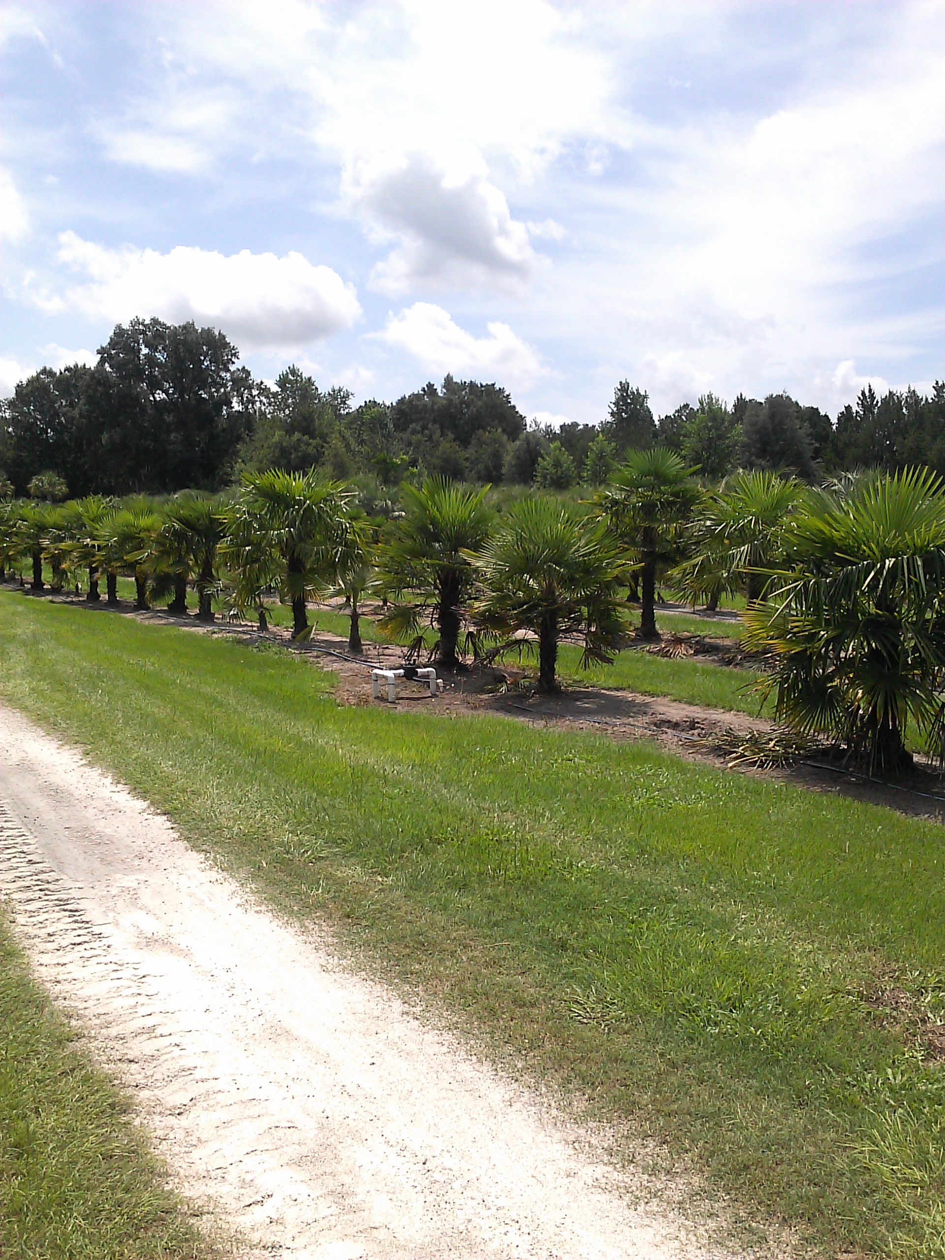 paradise palms nc u2013 raleigh palm trees for sale serving wake