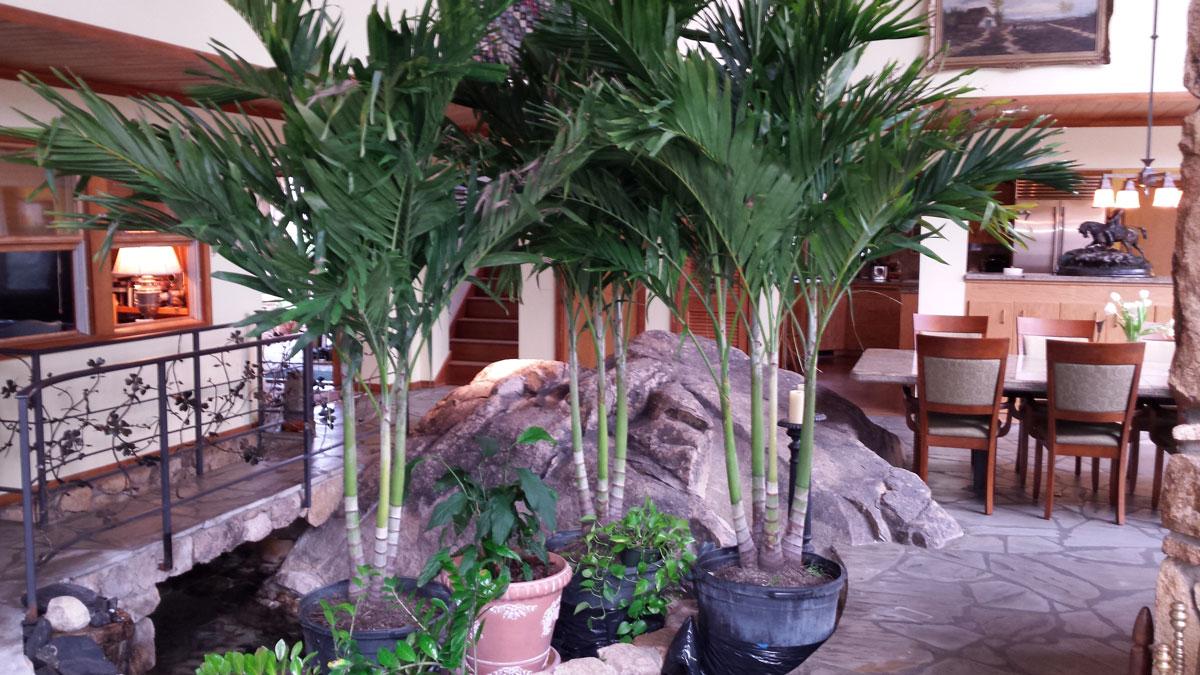 Christmas Tree Palm Paradise Palms Nc