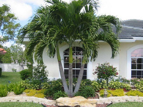 christmass-tree-palms