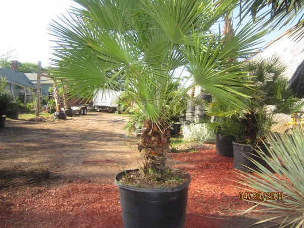 europeanian-fan-palm