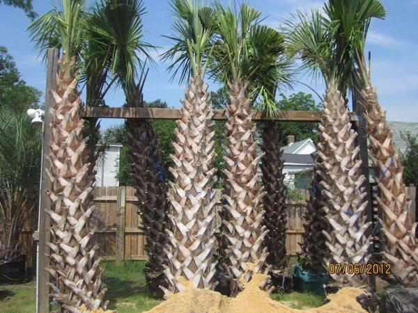 sabal-palm-trees