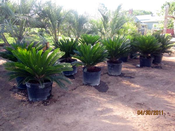 sago palm paradise palms nc. Black Bedroom Furniture Sets. Home Design Ideas