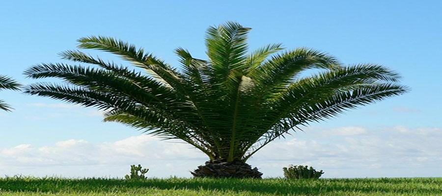 north-carolina_palm_tree